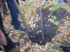 Тысячи молодых деревьев украсили микрорайоны Ставрополя