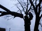 В Ставрополе массово заменяют старые и больные деревья
