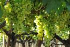 Минсельхоз: Виноградники и сады Ставрополья не пострадали от морозов