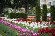 В Ставрополе к майским праздникам посадили более 100 тысяч тюльпанов