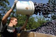 На Ставрополье завершилась уборка абрикосов и алычи